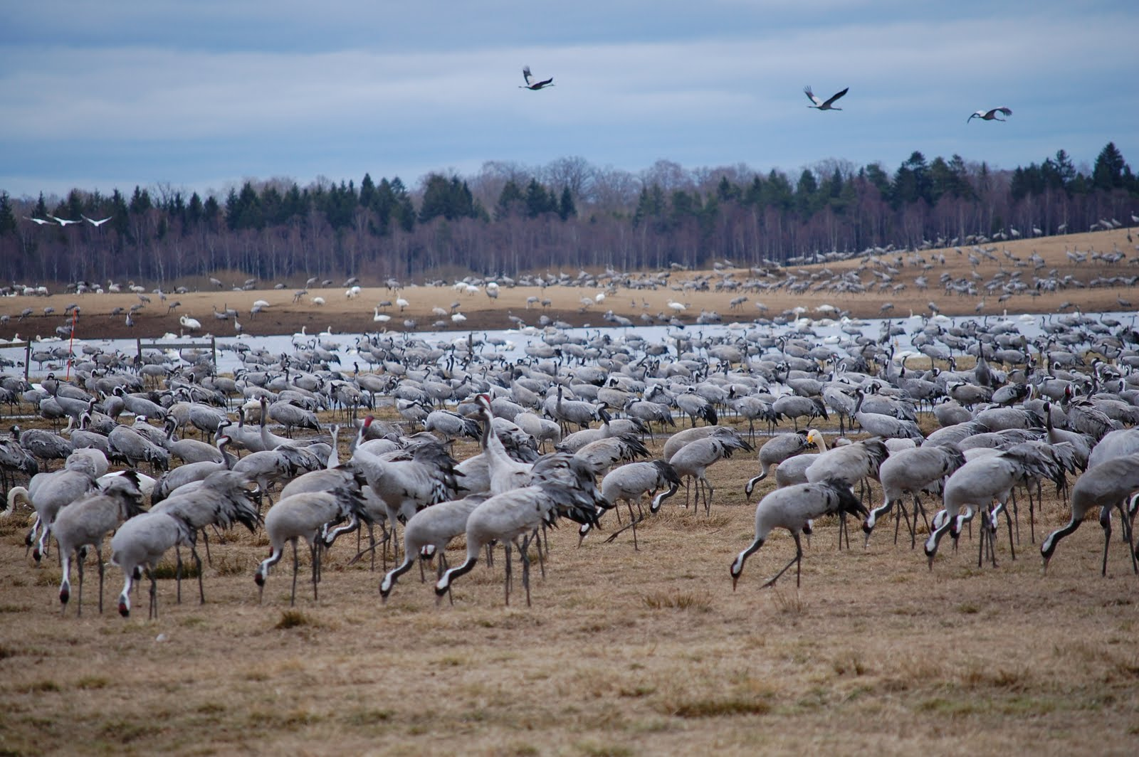 Hornborgasjön - Fågelsjö